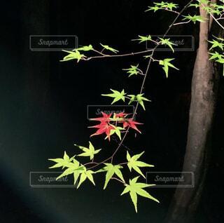 紅葉,葉,もみじ,ライトアップ,草木
