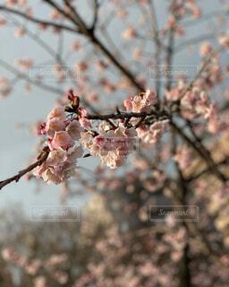 花,春,桜,屋外,枝,葉,樹木,思い出,草木,春の訪れ,桜の花,さくら,ブロッサム,春のお告げ