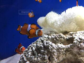 魚,水族館,葉,水中,カクレクマノミ,珊瑚礁,クマノミ,ニモ,海洋無脊椎動物,生命体