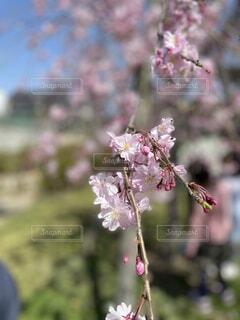 花,春,桜,ピンク,晴れ,つぼみ,外,草木,ブロッサム