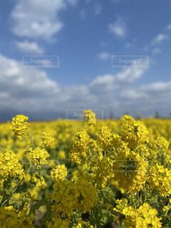 空,花,屋外,雲,黄色,菜の花,草木,菜種,マスタード,キャノーラ,広葉,マスタード工場