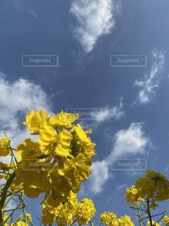 空,花,屋外,雲,青空,黄色,菜の花,アップ,草木