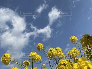 自然,空,花,屋外,雲,青空,黄色,菜の花,草木