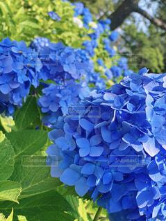 花,屋外,緑,あじさい,葉,背景,紫陽花,壁紙,草木