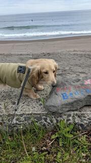 犬,海,beach,ミニチュアダックス,surf,surfing