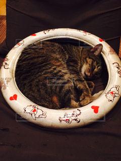 猫の写真・画像素材[242781]