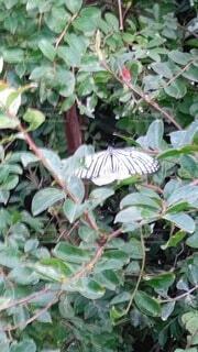 動物,屋外,昆虫,蝶,草木,蛾や蝶