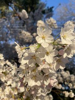 花,春,桜,草木,ブルーム,ブロッサム,フローラ