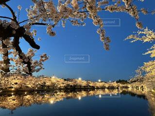 空,桜,屋外,水面,樹木,ライトアップ,草木
