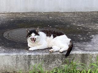 猫,動物,屋外,白,野良猫,野良,ネコ科,ノラ,ノラネコ,ボス