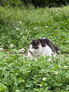 猫,動物,屋外,緑,景色,草,野良猫,お昼寝,野良,白つめ草
