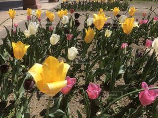 花,お花畑,花束,チューリップ,草木