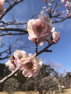 空,花,春,桜,屋外,ピンク,青い空,樹木,草木,さくら,ブルーム,ブロッサム