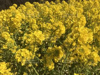 花,お花畑,屋外,黄色,景色,お花,樹木,草木,マスタード,アキノキリンソウ,フローラ