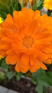 オレンジの花の写真・画像素材[4471022]