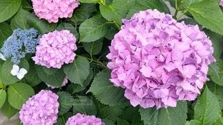 花,屋外,紫陽花,たくさん,梅雨,草木,アジサイ,ガーデン,フローラ