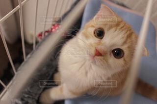 猫,動物,屋内,白,かわいい,茶色,見上げる,子猫,瞳,ネコ科
