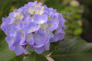 自然,花,緑,植物,あじさい,紫,山,紫陽花,和,和風,草木,アジサイ,フローラ