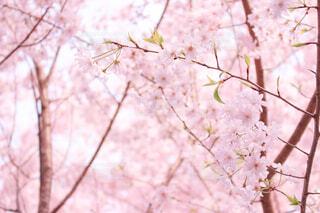 花,春,桜,木,屋外,ピンク,綺麗,枝,美しい,樹木,和,和風,桃色,桜の花,さくら,ブロッサム
