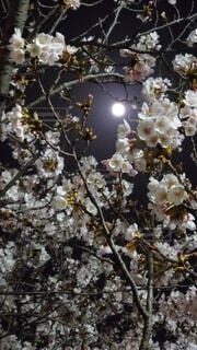 花,春,桜,夜桜,樹木,月,草木,ブルーム,ブロッサム