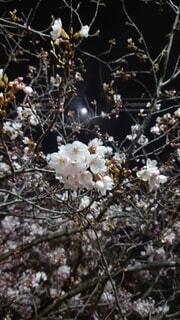 桜,夜桜,月