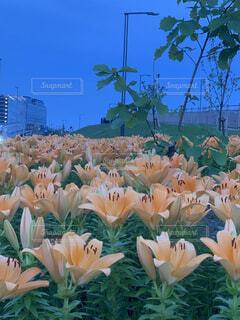花,花畑,夕暮れ,散歩,散歩道,ゆり,百合,遊歩道,羽田空港,羽田,草木