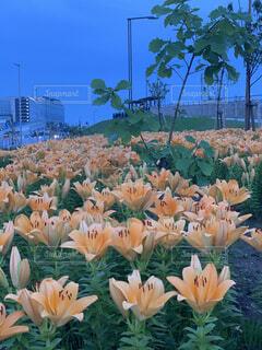 花,花畑,夕暮れ,オレンジ,ゆり,百合,羽田空港,羽田,草木