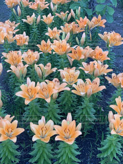 花,花畑,夕暮れ,オレンジ,ゆり,百合,草木