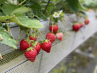 食べ物,いちご,フルーツ,果物,ブドウ,ベリー,ラズベリー,ボイセンベリー,イチゴ,種なしの果実