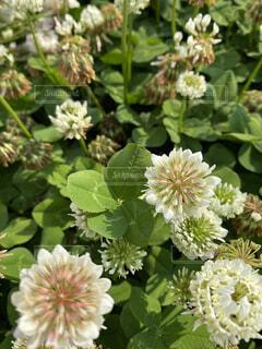 花,屋外,クローバー,シロツメクサ,四つ葉,草木,四ツ葉,フローラ