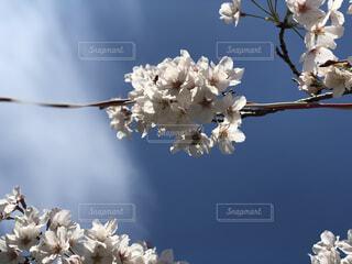 空,花,桜,草木,さくら,ブロッサム
