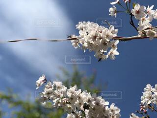 花,桜,草木,さくら,ブロッサム