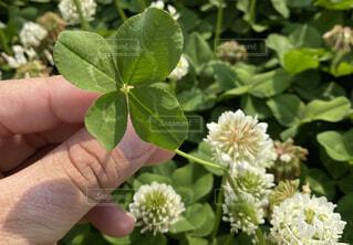 花,春,緑,手,野原,クローバー,シロツメクサ,四つ葉,四つ葉のクローバー,草木,四ツ葉
