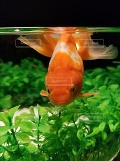 自然,夏,動物,魚,緑,水族館,水面,葉,オレンジ,容器,金魚,サラマンダー
