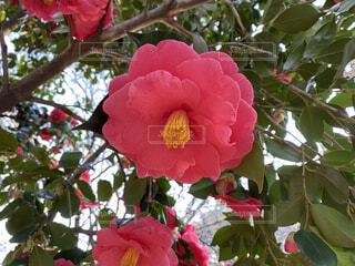 花,赤,バラ,花びら,薔薇,樹木,草木,ガーデン,ブルーム,フローラ