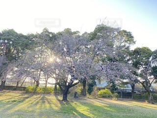 自然,空,花,夕日,桜,屋外,草,樹木,草木