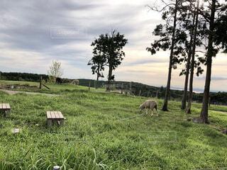 自然,風景,空,夕日,動物,屋外,緑,草原,雲,晴れ,夕暮れ,羊,牧場,景色,草,樹木,草木,ファーム