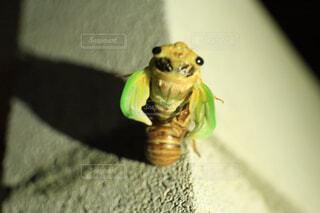 動物,屋内,緑,爬虫類,両生類,グッズ,蝉 セミ せみ 脱皮