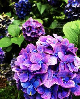 紫陽花の写真・画像素材[4477131]