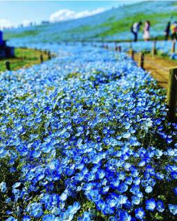 自然,花,春,屋外,青,景色,ネモフィラ,草木