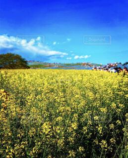 自然,風景,空,花,屋外,雲,菜の花,景色,草,菜種,マスタード,キャノーラ