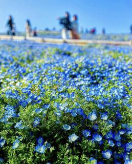 空,花,春,屋外,青,景色,ネモフィラ,快晴,草木