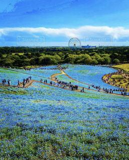 自然,空,公園,花,春,絶景,屋外,青,景色,草,ネモフィラ,高原,国営ひたち海浜公園