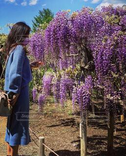 藤の花の写真・画像素材[4498405]