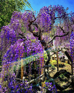 自然,公園,花,春,屋外,紫,景色,ラベンダー,藤,樹木,ライラック,藤の花,草木,ガーデン