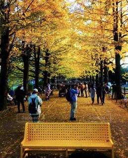 公園,秋,紅葉,屋外,東京,黄色,ベンチ,樹木,人物,人,イチョウ,銀杏,国営昭和記念公園,黄色いベンチ