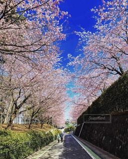 自然,空,春,桜,屋外,ピンク,青空,桜並木,樹木,道,トンネル,桜の花,ブロッサム