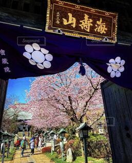 花,春,桜,屋外,樹木,お寺,寺院,テキスト