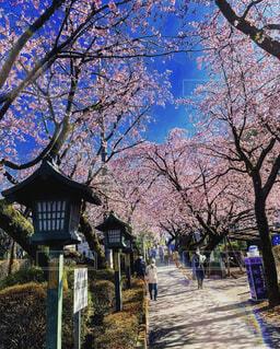 空,花,春,桜,屋外,ピンク,青空,桜並木,樹木,草木,桜の花,さくら,ブロッサム