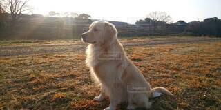 犬,動物,屋外,散歩,夕方,初夏,ゴールデンリトリバー